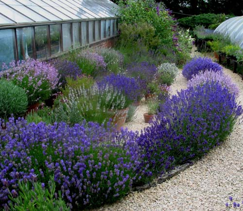 Small Garden Yard With Cute Purple Plants Contemporary: The Lavender Garden