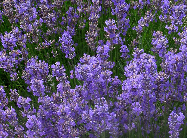 the lavender garden  catalogue, Natural flower